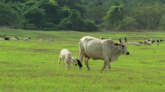 Cows And Goats On Green Pasture Hd Stock Video Download Video Clip Now Istock