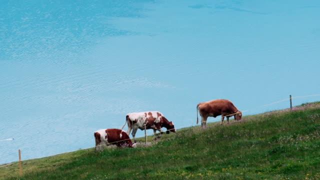 Cows and Lake Thun video
