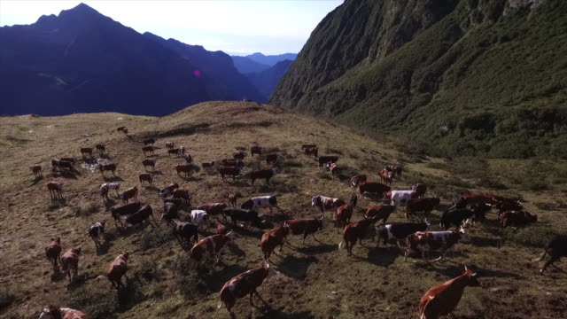 Cows and paragliding on the Alps, Italy