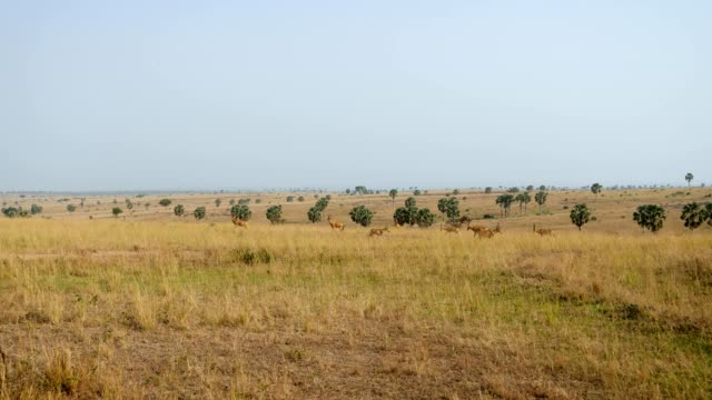 Cows Antelope Or Hartebeest Grazing In Wild African Savannah