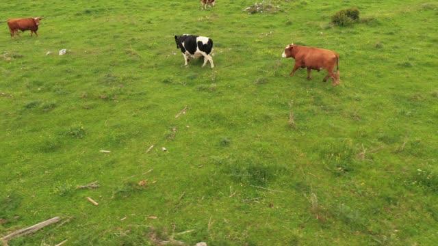 vidéos et rushes de les vaches broutent dans le pré - vache laitière