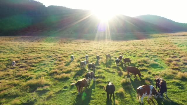 Cows are grazing in the meadow Cows in a field, aerial view paddock stock videos & royalty-free footage