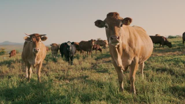 le mucche sono esseri molto curiosi e percettivi - bestiame video stock e b–roll