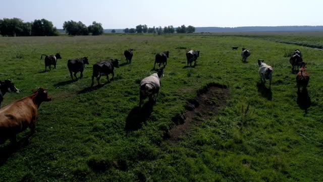 kor vandrar längs fältet - nötkreatur bildbanksvideor och videomaterial från bakom kulisserna