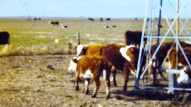 소 at 패스처 (아카이벌 1950 s - 젖소 스톡 비디오 및 b-롤 화면