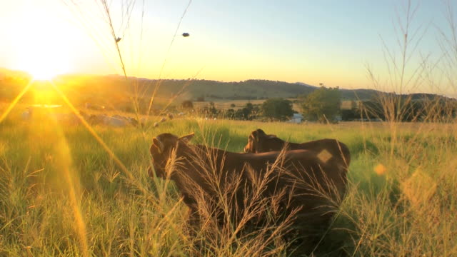 Cows at sunset video