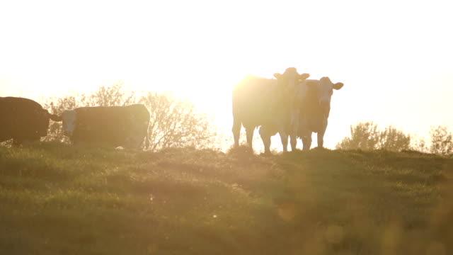 vidéos et rushes de vaches au coucher du soleil - vache laitière