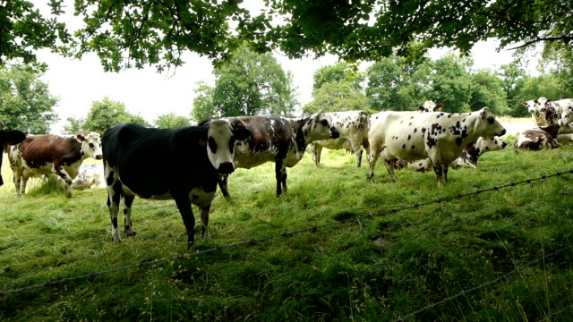 Cows at the countryside of Normandy, France French cows in the landscape of Normandy, France. A close shot of a herd of black, brown and white spotted cows at the countryside. normandy stock videos & royalty-free footage