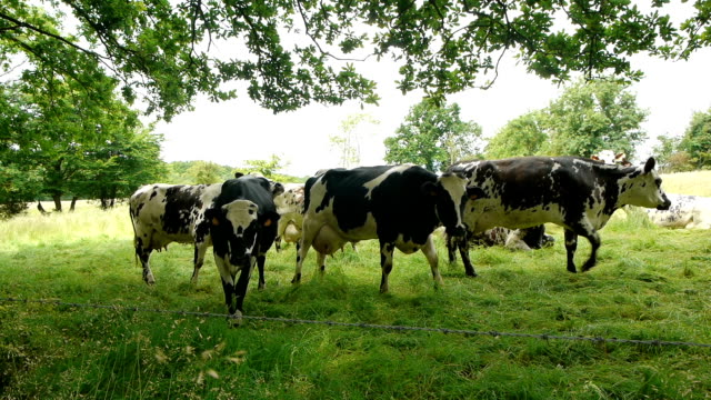 Cows at the countryside French cows in the landscape of Normandy, France. A herd of black, brown and white spotted cows at the countryside. normandy stock videos & royalty-free footage