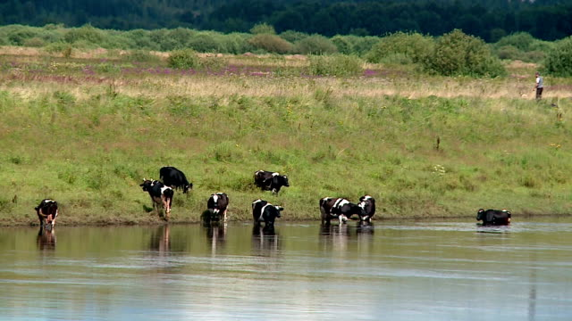 cows at the watering walk into the river