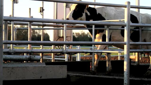 vidéos et rushes de vaches automatique barrière - mitrailleuse