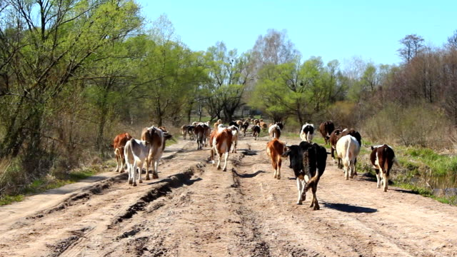 cows come back from pasture on the sandy rural road - mandriano video stock e b–roll