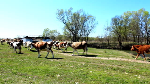 cows comes back from pasture in the spring - mandriano video stock e b–roll