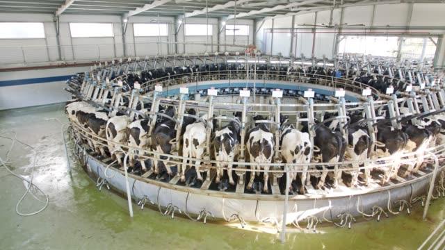 büyük bir mandıra döner bir sağım salonunda sağım sırasında inekler - meme hayvan vücudu bölümleri stok videoları ve detay görüntü çekimi