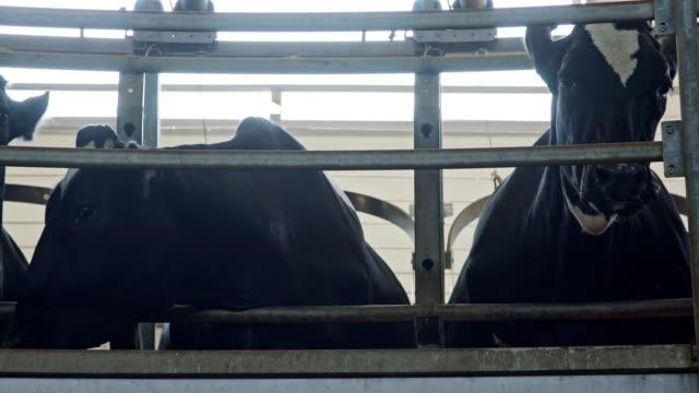 vidéos et rushes de vaches pendant la traite sur un salon de traite rotatif dans une grande ferme laitière - vache laitière