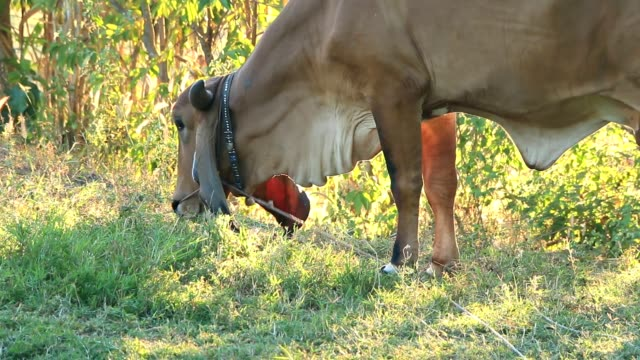 cows eat grass - briglia video stock e b–roll