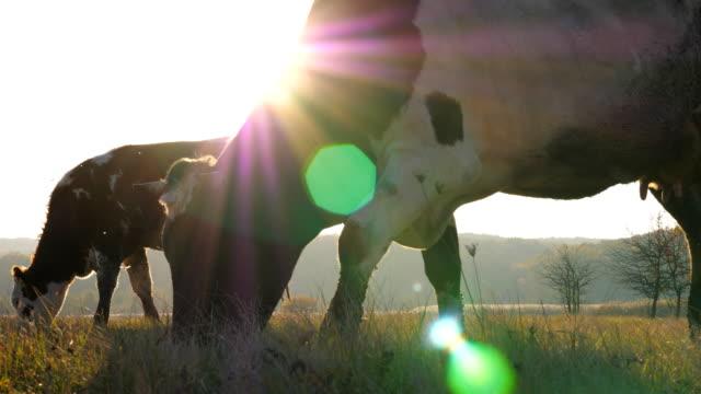 vidéos et rushes de vaches mangeant l'herbe verte fraîche sur la pelouse. pâturage de bétail sur des pâturages au jour ensoleillé. beau paysage de la campagne avec le soleil à l'arrière-plan. concept agricole. scène rurale scénique. vue lente de côté de mo - vache laitière