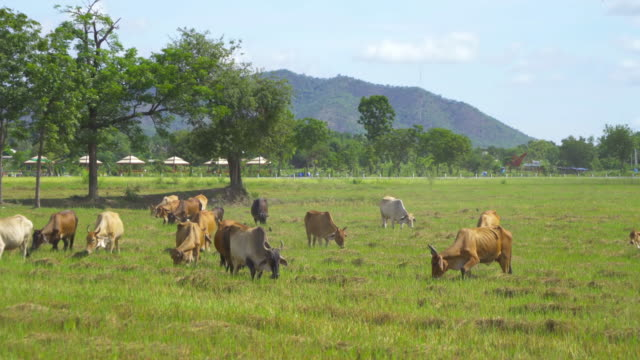 Cows eating green rice and grass field in Kanchanaburi district, Thailand in travel vacation concept. Animals in agriculture farm.