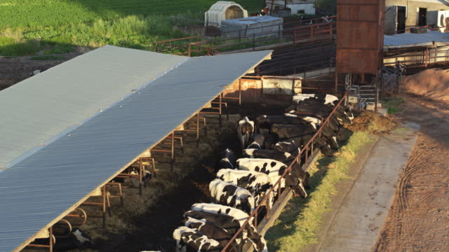 vídeos de stock e filmes b-roll de cows feeding through fence on dairy farm - drone shot - vaca
