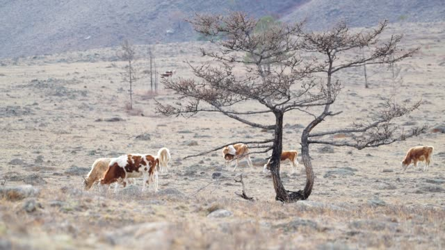 cows graze among the stones of the mountains in the background video