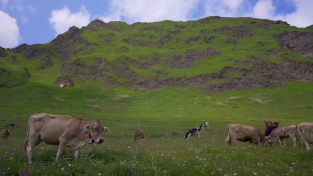 Cows graze on a grassy hillside with the Swiss Alps in the distance