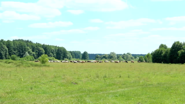 cows graze on a pasture outside the village near the forest - mandriano video stock e b–roll
