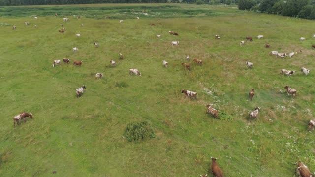 cows graze on pasture - giovenca video stock e b–roll