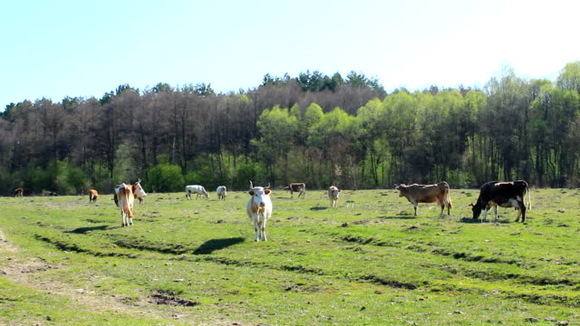 cows graze on the farm pasture near forest in the spring - mandriano video stock e b–roll