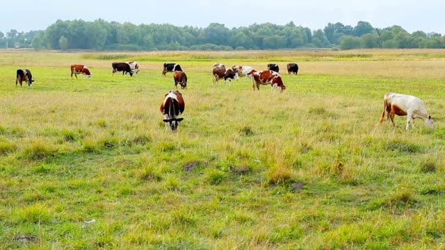 Cows graze on the farm. video