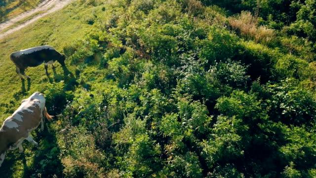 çimenlerin üzerine inek otlatmak - meme hayvan vücudu bölümleri stok videoları ve detay görüntü çekimi