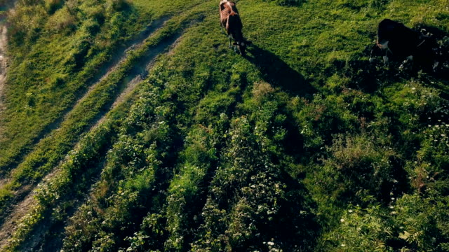 cows graze on the lawn - giovenca video stock e b–roll