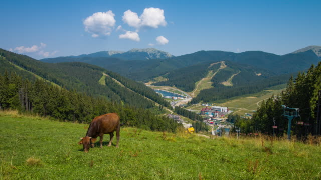 Cows graze on the top of the mountains. Incredible landscape of green mountains in late summer. video