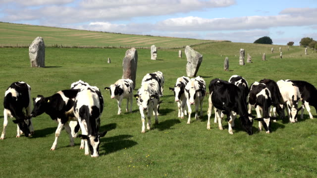 Cows graze walk Kennet Avenue towards ancient prehistoric Avebury Stone Circle video