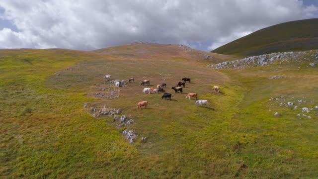 vidéos et rushes de vaches en pâturage et marcher sur l'herbe verte dans la montagne en italie abruzzo - grange