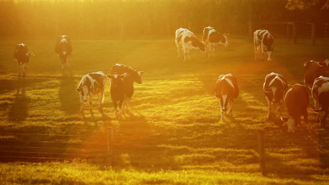 Cows Grazing as Dusk video