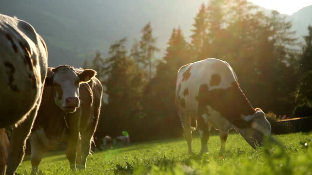 cows grazing during magic hour - ko bildbanksvideor och videomaterial från bakom kulisserna