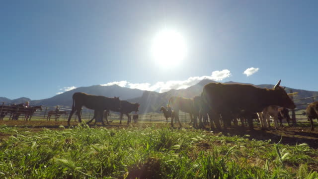 Cows Grazing in a Corral Cows Grazing in a Corral western usa stock videos & royalty-free footage