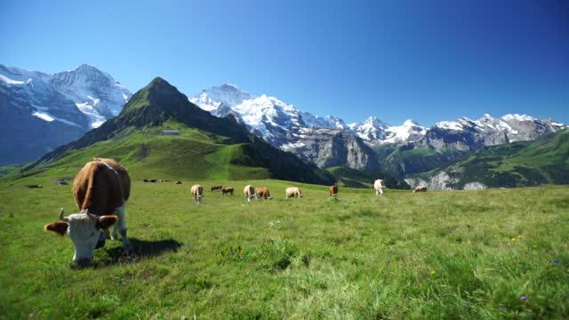 vídeos de stock, filmes e b-roll de vacas pastando no prado alpino sob montanhas cobertas de neve - boi