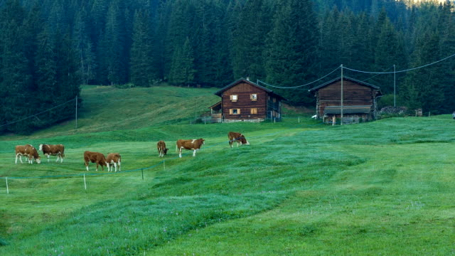 Cows grazing in alpine meadows in South Tyrol video