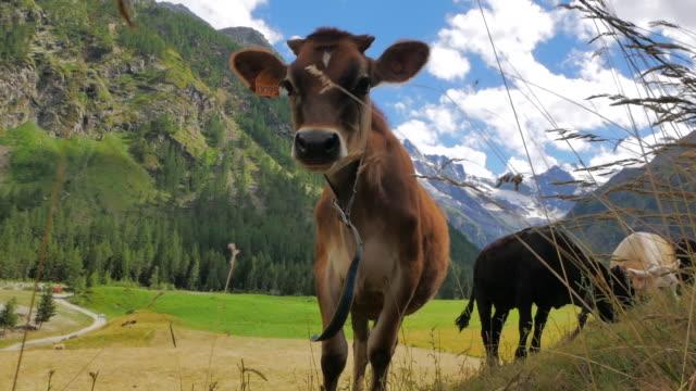 stockvideo's en b-roll-footage met koeien grazen in de franse zwitserse alpen wolken en blauwe hemel - zermatt