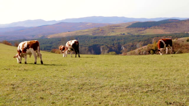 Cows grazing in high mountain landscape video