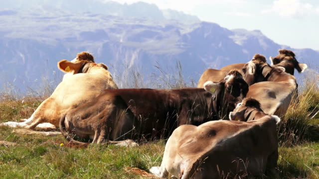 Cows Grazing In High Mountain Pasture Cinemagraph video
