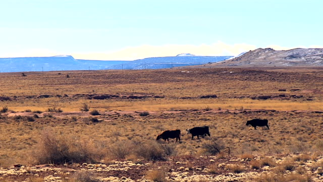 cows grazing in middle of the desert video