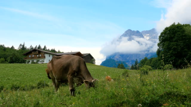 Cows grazing in the Alps mountains on summer pasture Cows grazing in the Alps mountains on summer pasture, Ramsau pasture stock videos & royalty-free footage