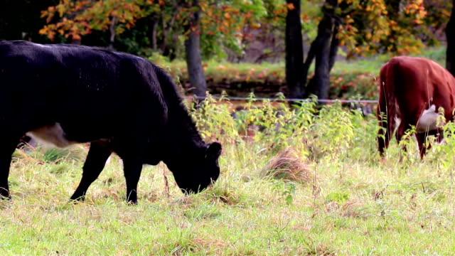 mucche al pascolo nel prato - giovenca video stock e b–roll