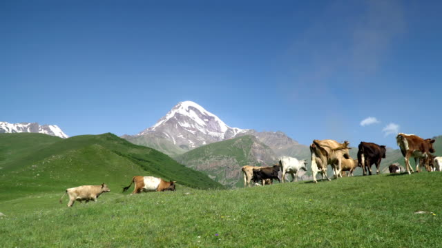 Cows grazing on alpine meadow at the foot of Mount Kazbek. Ecology concept. Beauty world. Cows grazing on alpine meadow at the foot of Mount Kazbek. Picturesque day, gorgeous scene. Location place Kazbegii, Georgia, Europe. Ecology concept. Beauty world. pasture stock videos & royalty-free footage