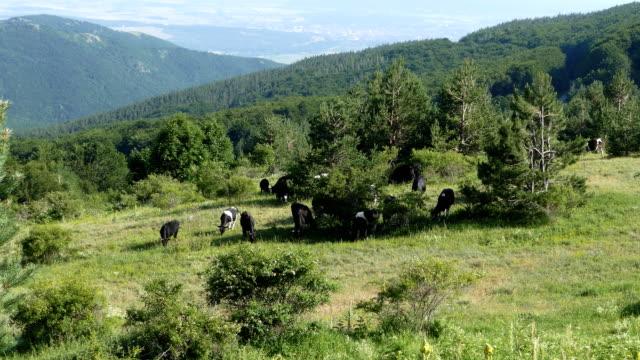 牛の牧草地にハイマウンテンパスチュア - 家畜点の映像素材/bロール