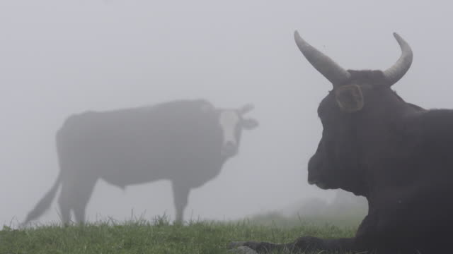 kühe am nebligen tag - himachal pradesh stock-videos und b-roll-filmmaterial