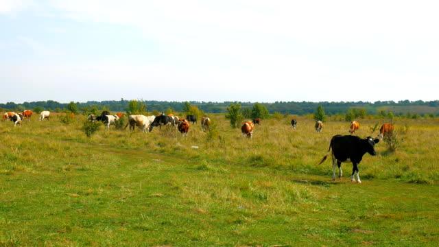 Cows grazing on pasture. Cows grazing on pasture. video