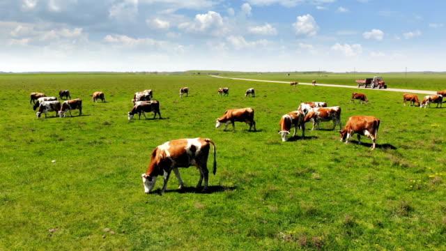 vídeos de stock e filmes b-roll de cows grazing on pasture - rancho quinta
